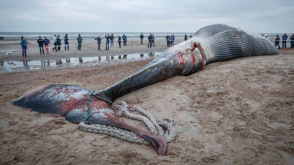 Riesiger Finnwal an belgischer Küste gestrandet