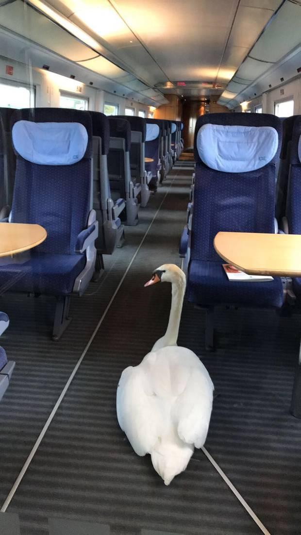 Gerettet: Der ältere Schwan im ICE-Sonderzug zurück zu denRattmannsdorfer Teichen