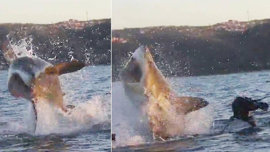 Spektakuläre Aufnahmen: Hai-Attacke: Wie eine wendige Robbe ihrem Jäger entkam