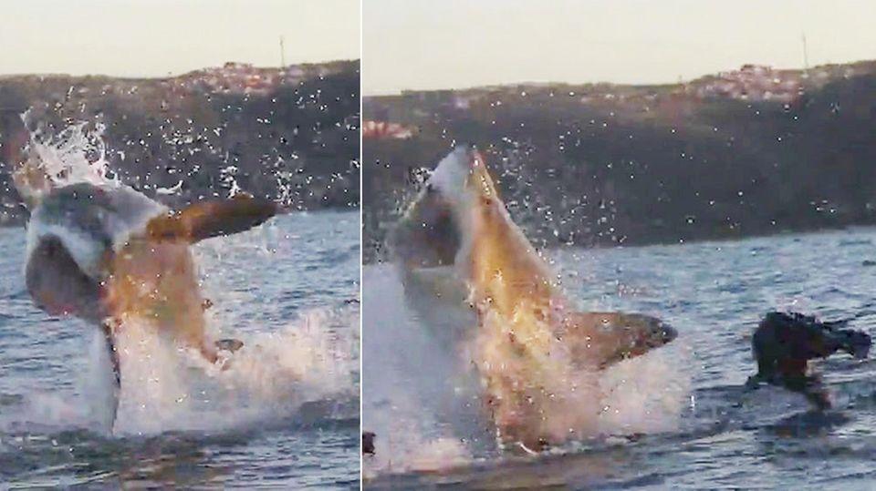Neuseeland : Hai greift Surfer an – der brüllt ihn an und schlägt ihm aufs Auge