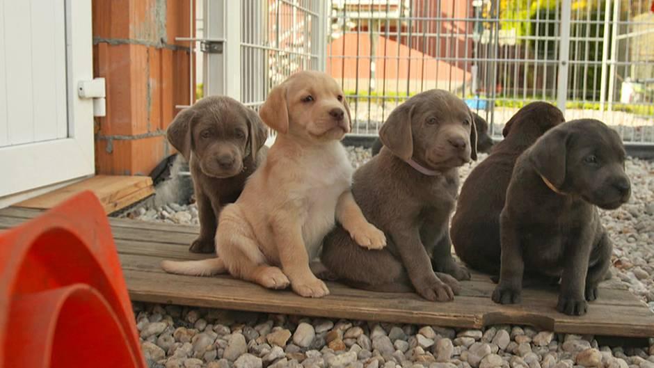Hundewelpen: An Niedlichkeit kaum zu übertreffen: Dieser bunte Wurf Labrador-Welpen ist eine Seltenheit!