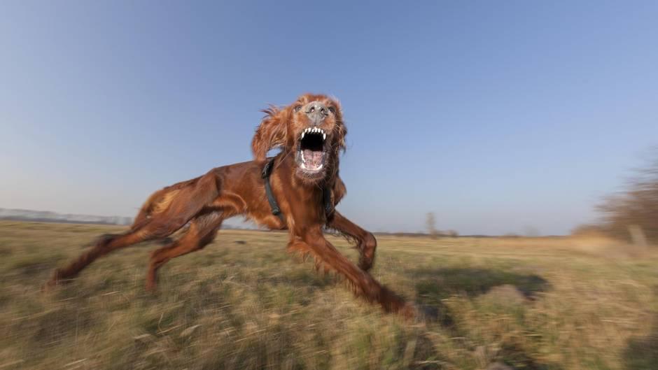 Ob spielerisch aggressiv, oder eine echt Gefahr: Hunde müssenaußerhalb bebauter Ortslagen umgehend und ohne Aufforderung angeleint werden, wenn sich andere Personen nähern