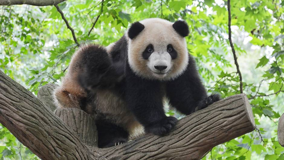 Panda in einem Baum