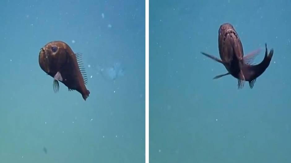 Besonderer Meeresbewohner: In 925 Metern Tiefe: Dieser Fisch erstaunt selbst erfahrene Forscher