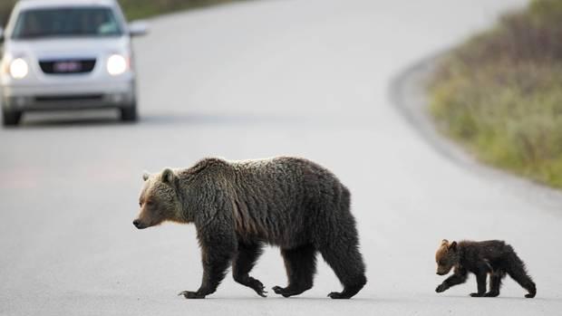 Vorsicht: Grizzlybären kreuzen die Straße im Banff-Nationalpark