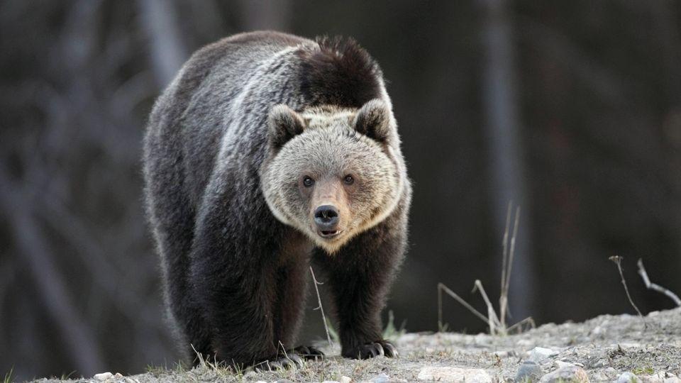 Begegnung auf Augenhöhe: ein Grizzlybär im Banff-Nationalpark