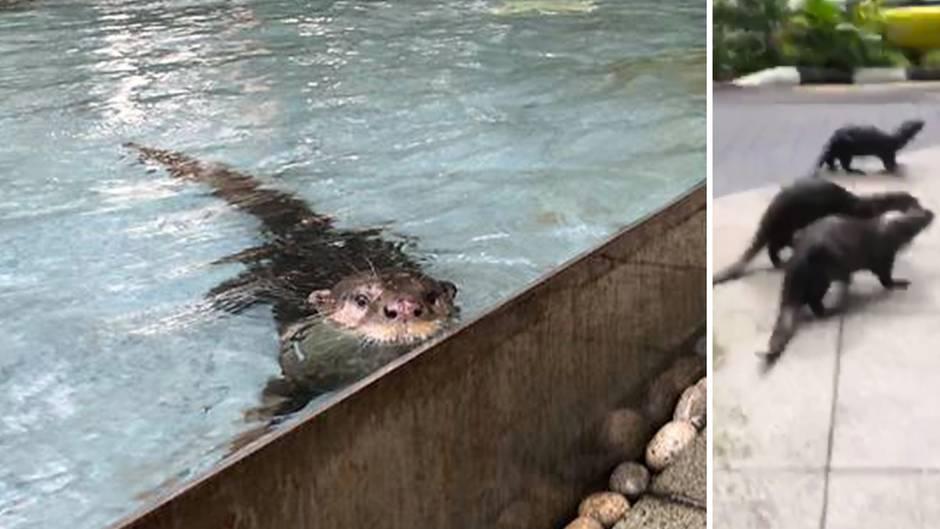 Singapur: Drei Otter toben sich mitten in Finanzmetropole aus