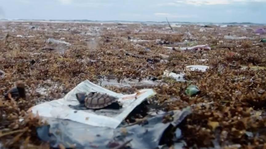 Umweltverschmutzung: Plastikmüll bedroht das Leben dieser kleinen Schildkröte