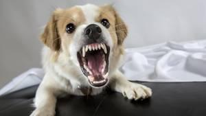 Aggressiver Hund fletscht die Zähne