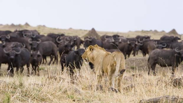 Ein junger Löwe beobachtet eine Büffelherde