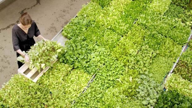 """In riesigen Regalen und unter LED-Lampen werden bei """"Farmers Cut""""Babyleaf-Salat, Rauke und Pak choi angebaut."""