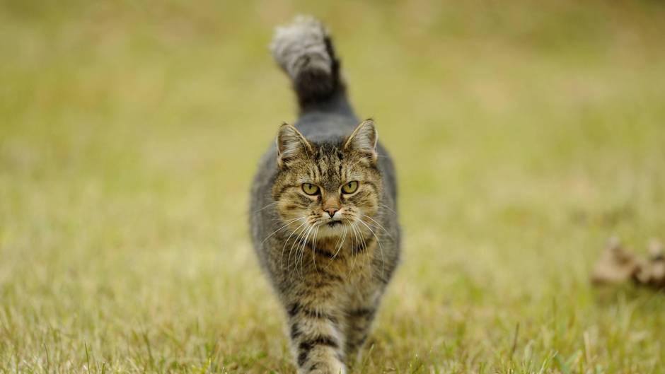 Tollwut: Streunende Katze (Symbolbild)