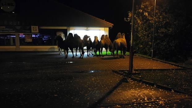 nachrichten deutschland - kamele