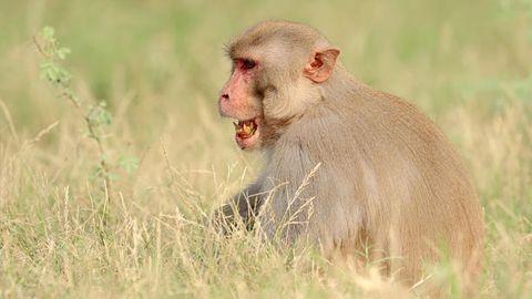 Makaken sind in Indien sehr weit verbreitet und waren in der Vergangenheit für ähnliche Vorfälle verwickelt.