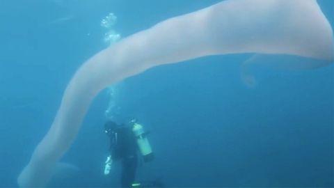 Neuseeland: Taucher filmen acht Meter langen Riesenwurm