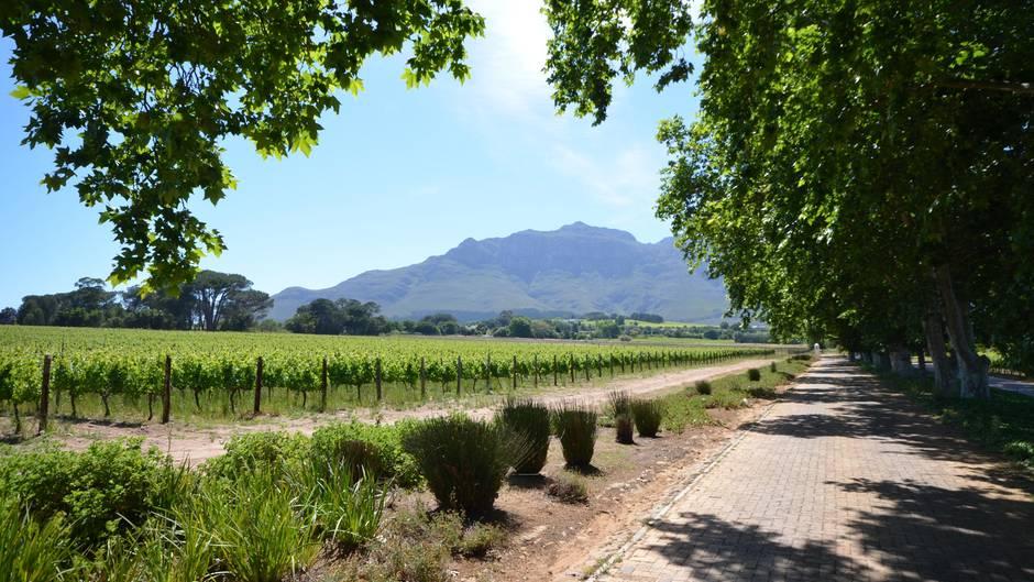 Am Fuß der blauen Helderberge im Süden von Stellenbosch führt eine stattliche Allee alter Platanen zum Weingut Blaauwklippen, einem traditionellen Betrieb, der für seine Rotweine bekannt wurde.