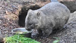 Ein Wombat futtert Grünzeug