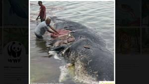 Die Naturschutzorganisation WWF machte bei Twitter auf den verendeten Wal aufmerksam