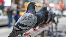 Tauben hocken auf Geländer