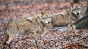 Wölfe im Wildpark in Neuhaus im Solling