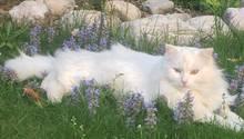 Eine weiße Katze liegt ausgestreckt auf einer Wiese mit in Blumen