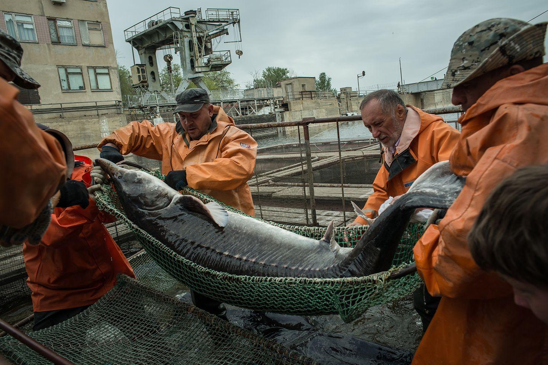 Astrachan: In der Fischfarm Raskat werden Störe aus dem Becken gehoben