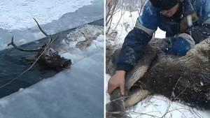 Rothirsch aus einem vereisten Fluss in Sibirien gerettet