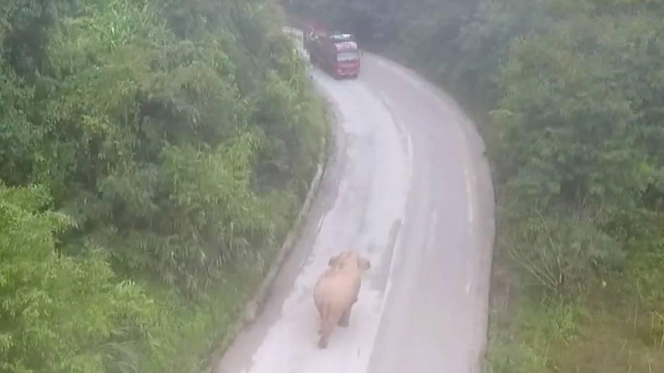 China: Problem-Dickhäuter – dieser Elefant wird mit Drohnen überwacht