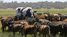 """Australien: Ochse """"Knickers"""" ist größer als alle anderen – das ist sein RIesenglück"""