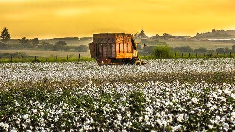 Baumwollfeld zur Geschichte über einen an Leukämie erkrankten Landwirt