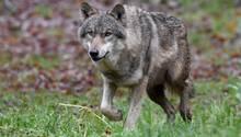 Ein Wolf in Schleswig-Holstein