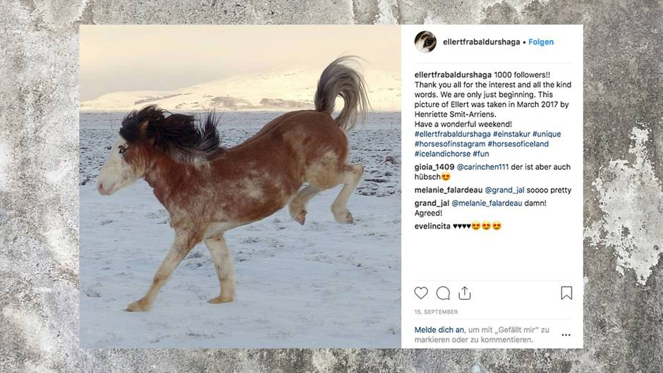 Island Pferd Mit Besonderer Fellfarbe Hat Eigenen Instagram Account