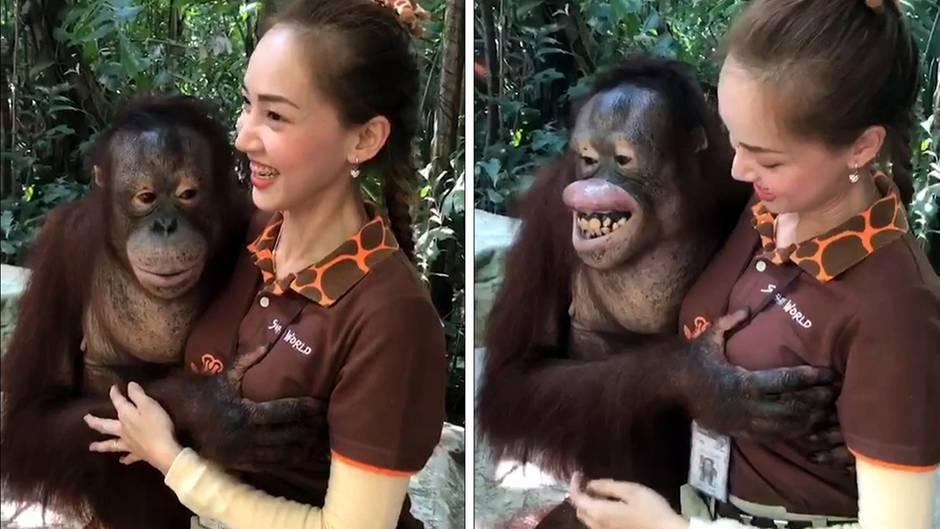 Orang-Utan grapscht Tierpflegerin an der Brust
