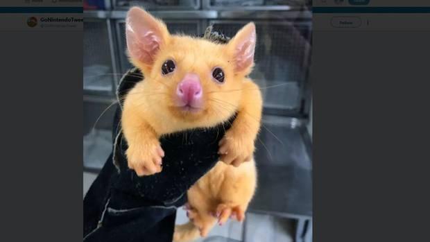 Der goldene Opossum erinnert viele an Pikachu