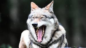 Angeblicher Wolfsbiss in Niedersachsen ist weiter nicht nachgewiesen