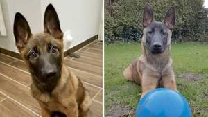 """Der Malinoisrüde """"Jack"""" im Alter von 12 Wochen im Dezember 2016 (l) und im Dezember 2018"""