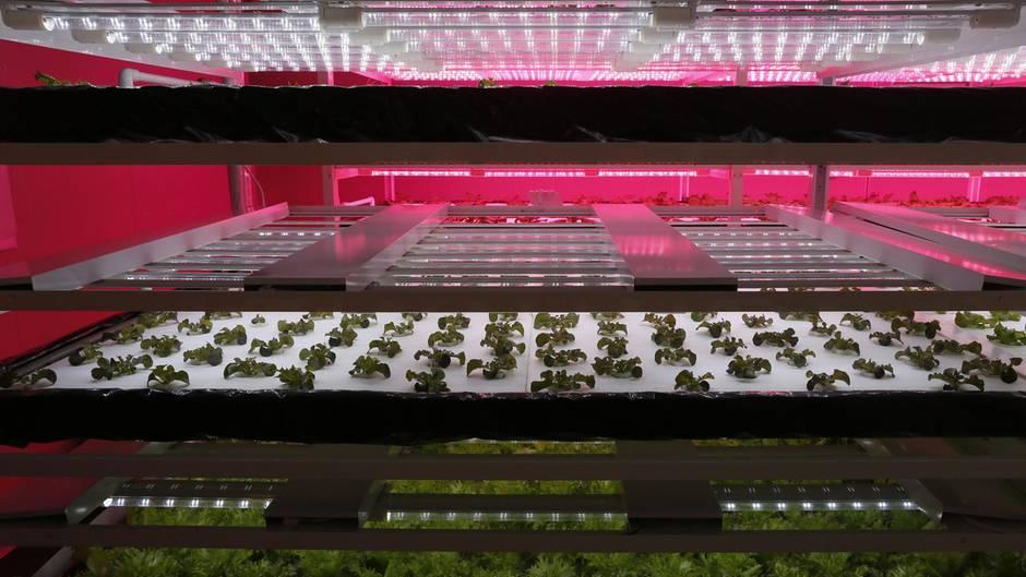 Diese Foto zeigt die Produktion in einer Pflanzenfabrik.