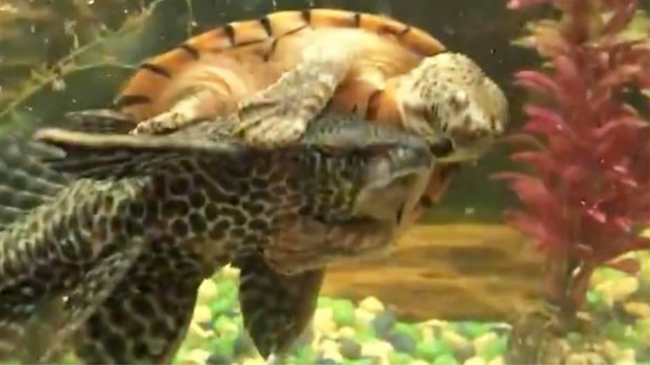 "Freches Reptil: Howdy! Aquariums-Rodeo: Schildkröte ""reitet"" Wels"