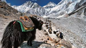 Berg-Symbol vom Aussterben bedroht  Yaks sind vom Aussterben bedroht, da die Tiere bei einer zu hohen Temperatur bzw. unterhalb einer Höhe von ca. 3000 Metern (abhängig von den Temperaturen) nicht überleben können. Der Temperaturanstieg hat sich in den letzten Jahren jedoch dramatisch verschärft. Die Zahl der Yaks im Himalaya ist stark rückläufig, da auch Landwirtschaft, Energie-Bedarf und Fleischproduktion sich verändern, was zu einer geringeren Bedeutung der Yaks, die als arbeitsintensiv gelten, führt.