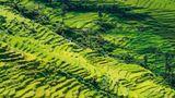 Reisernten und Reistrassen sind gefährdet  Die Jahrhunderte alten Reisterrassen von Bhote Namlangdrohen zu vertrocknen, da es nicht mehr genug Niederschlag gibt, um die Terrassen genügend mit Wasser zu versorgen.