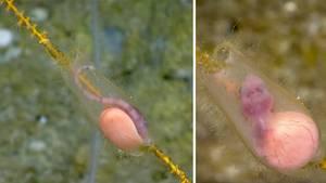 Puerto Rico: Wissenschaftler filmen Hai-Baby in durchsichtigem Ei
