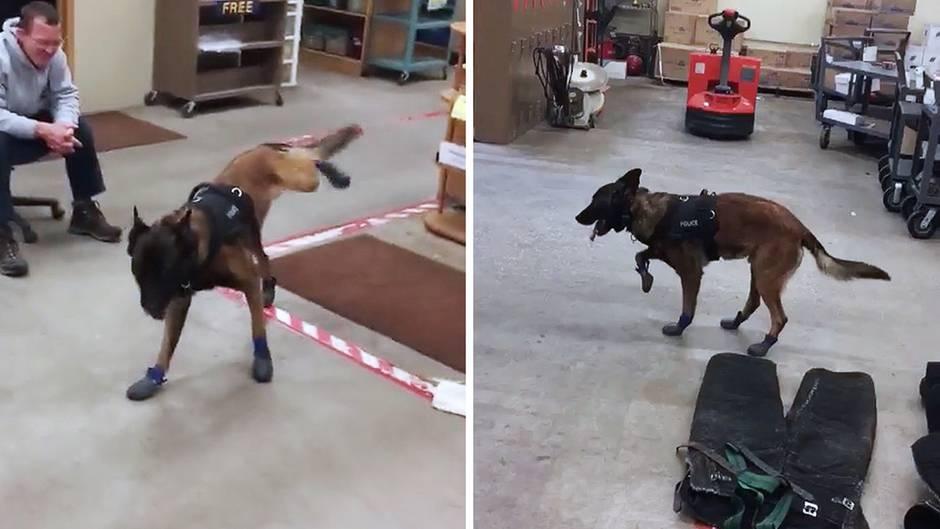 Gegen Schnee und Eis: Polizeihund Jary bekommt Schneeschuhe – und kann sich nicht daran gewöhnen