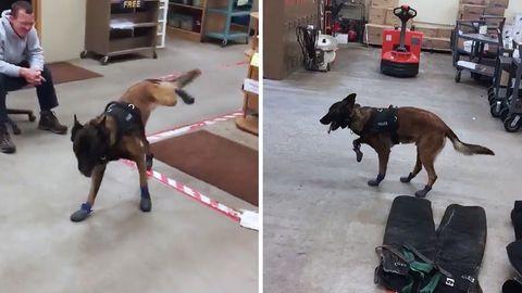 USA: Mehr als 260.000 Euro: Zehnjähriger sammelt Spenden für kugelsichere Hunde-Schutzwesten