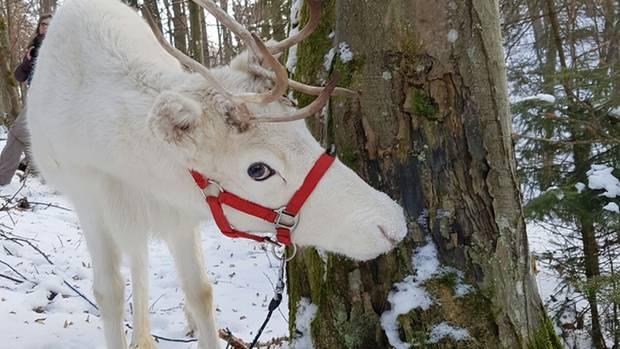 Baby-Rentier Mika ist jetzt sieben Monate alt und entzückt seine Zieheltern und Weihnachtsmarktbesucher gleichermaßen.