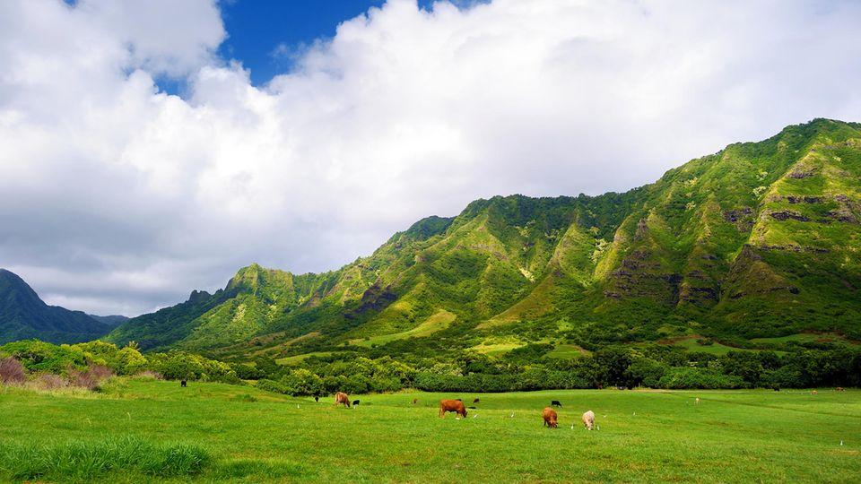 Kühe auf der Weide derKualoa Ranch, Oahu