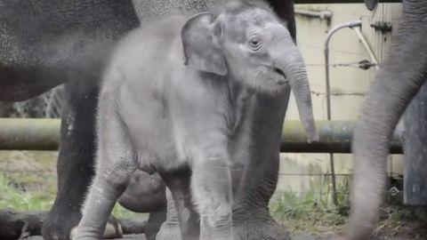 Tauziehen: Elefantendame vs. Footballspieler