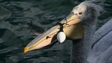 Izmir, Türkei. Menschen versuchen, einem verletzten Pelikan zu helfen. Der Schnabel des Tieres war in Angelschnüren, Haken und Seilen verfangen, die ihn daran hinderten, seinen Schnabel richtig zu öffnen.