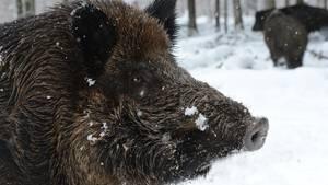 Nachrichten aus Deutschland: Wildschwein