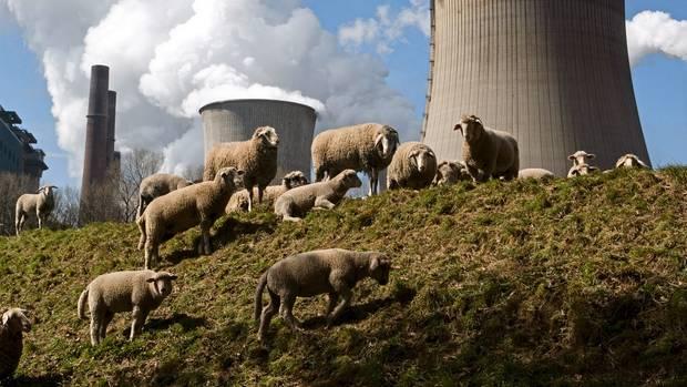Verqualmtes Idyll: Neben dem Braunkohlekraftwerk Niederaußem grasen Schafe