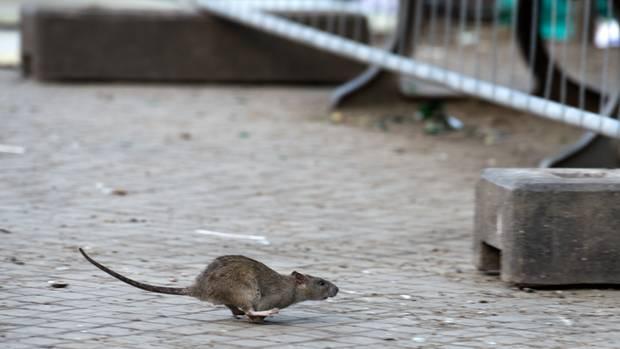 Eine Ratte rennt über die Straße